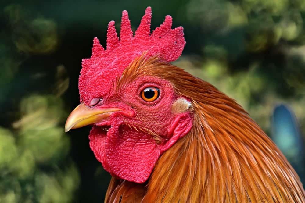 sneezing chicken