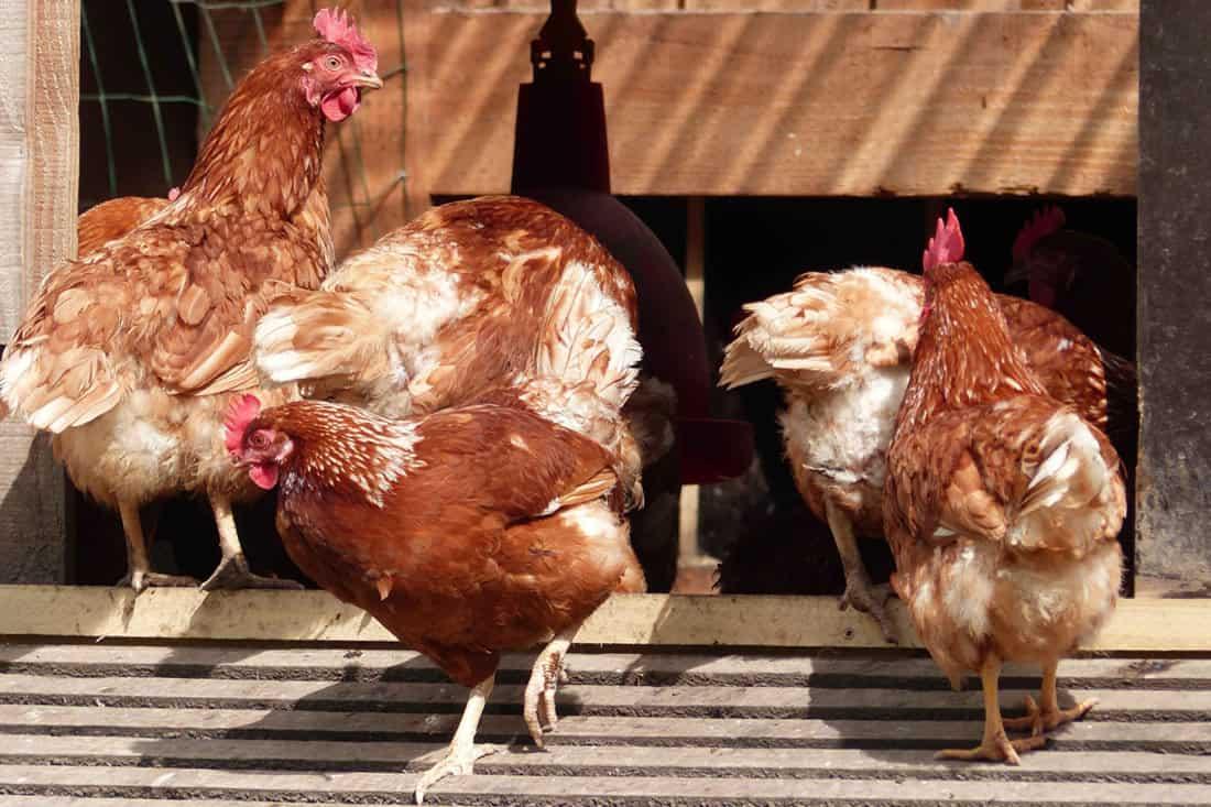 when is a chicken full grown
