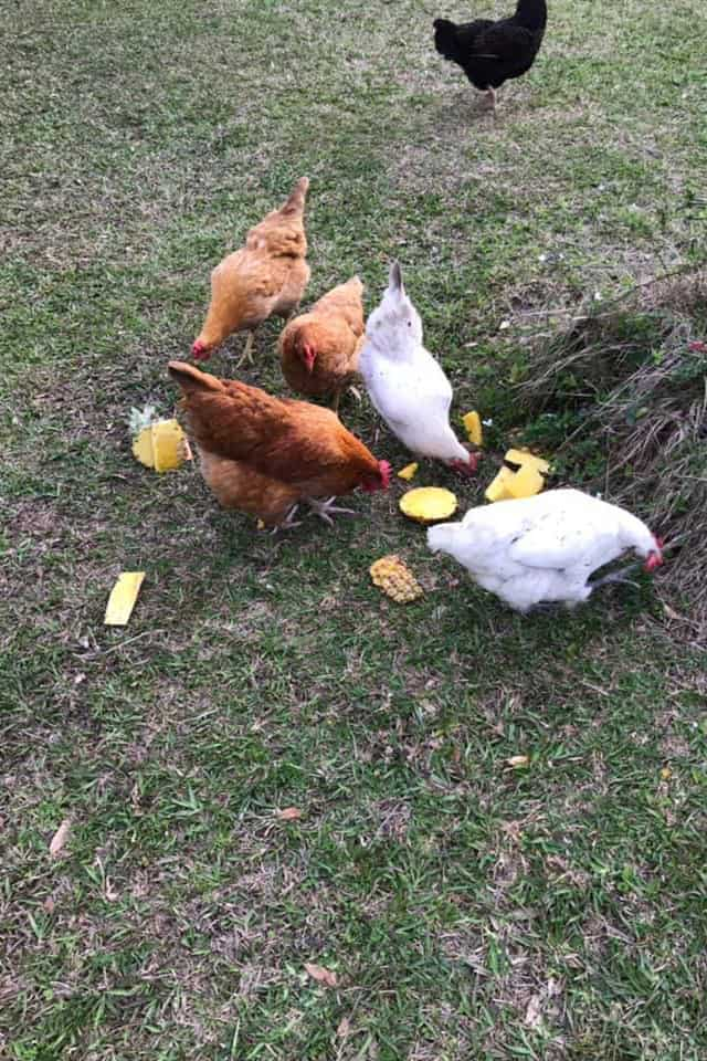 Are Pineapples Healthy For Chickens