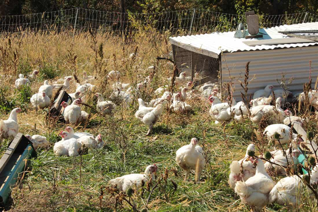 breeding chickens for profit1