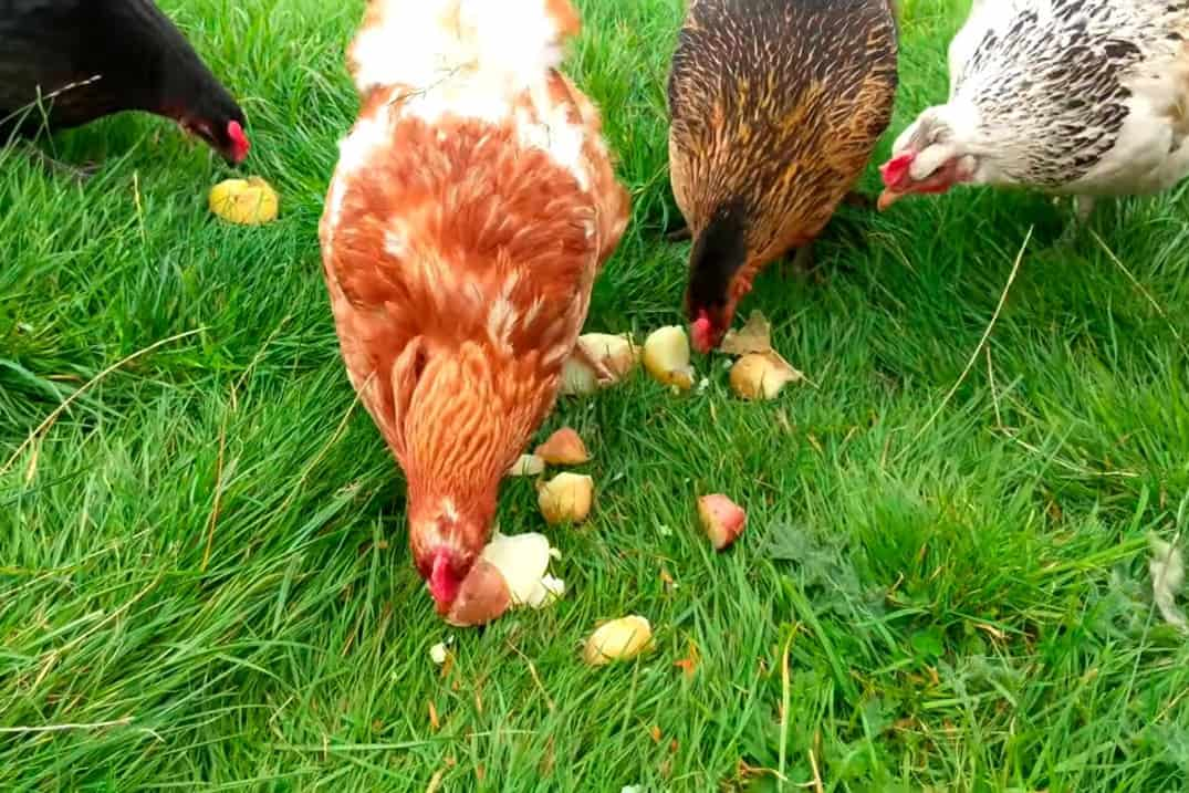 can chickens eat raw potatoes