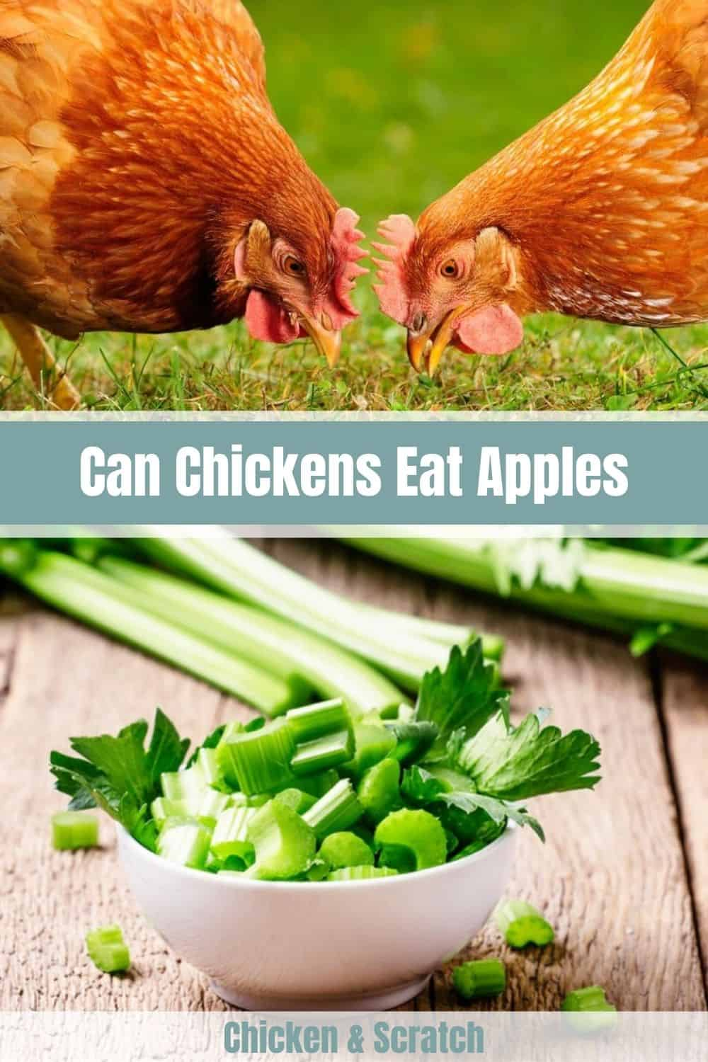 can chickens have celery