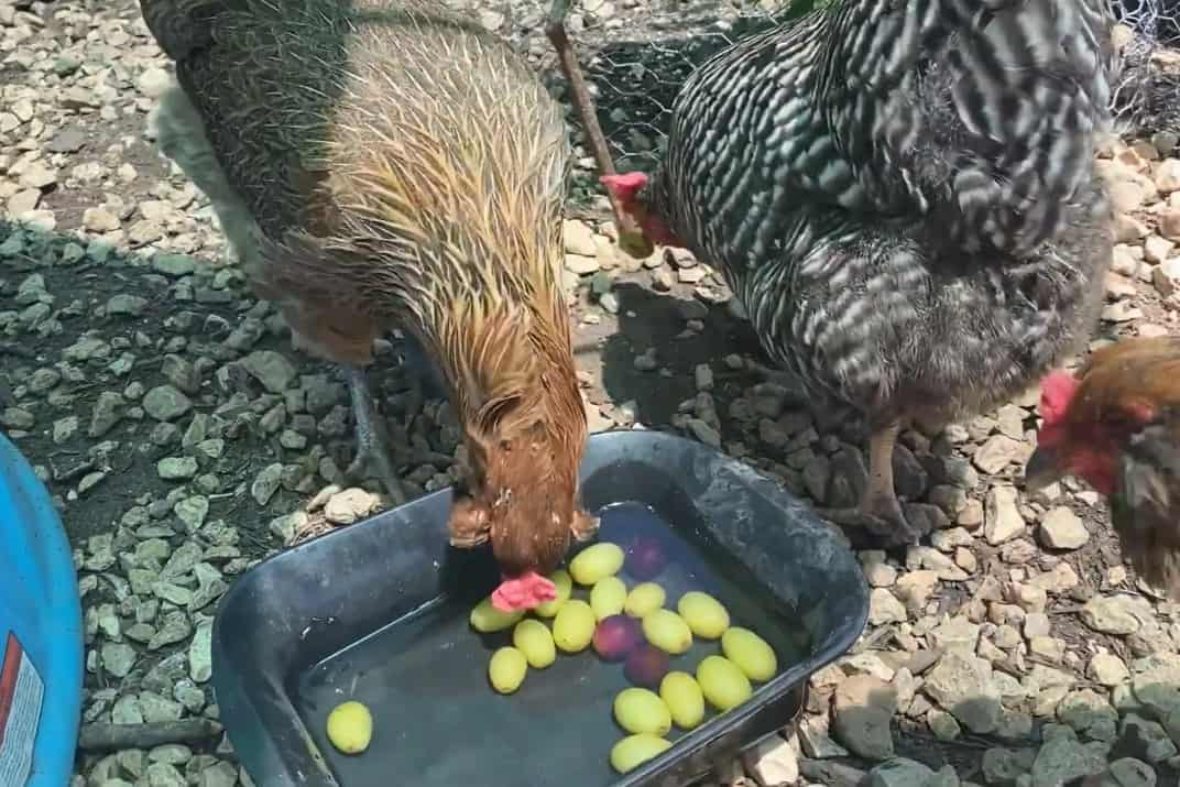 can you feed chickens grapes