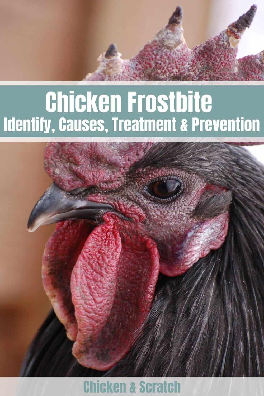chicken frostbite
