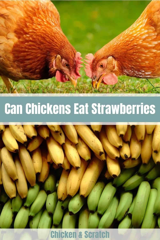 chickens eat banana peels