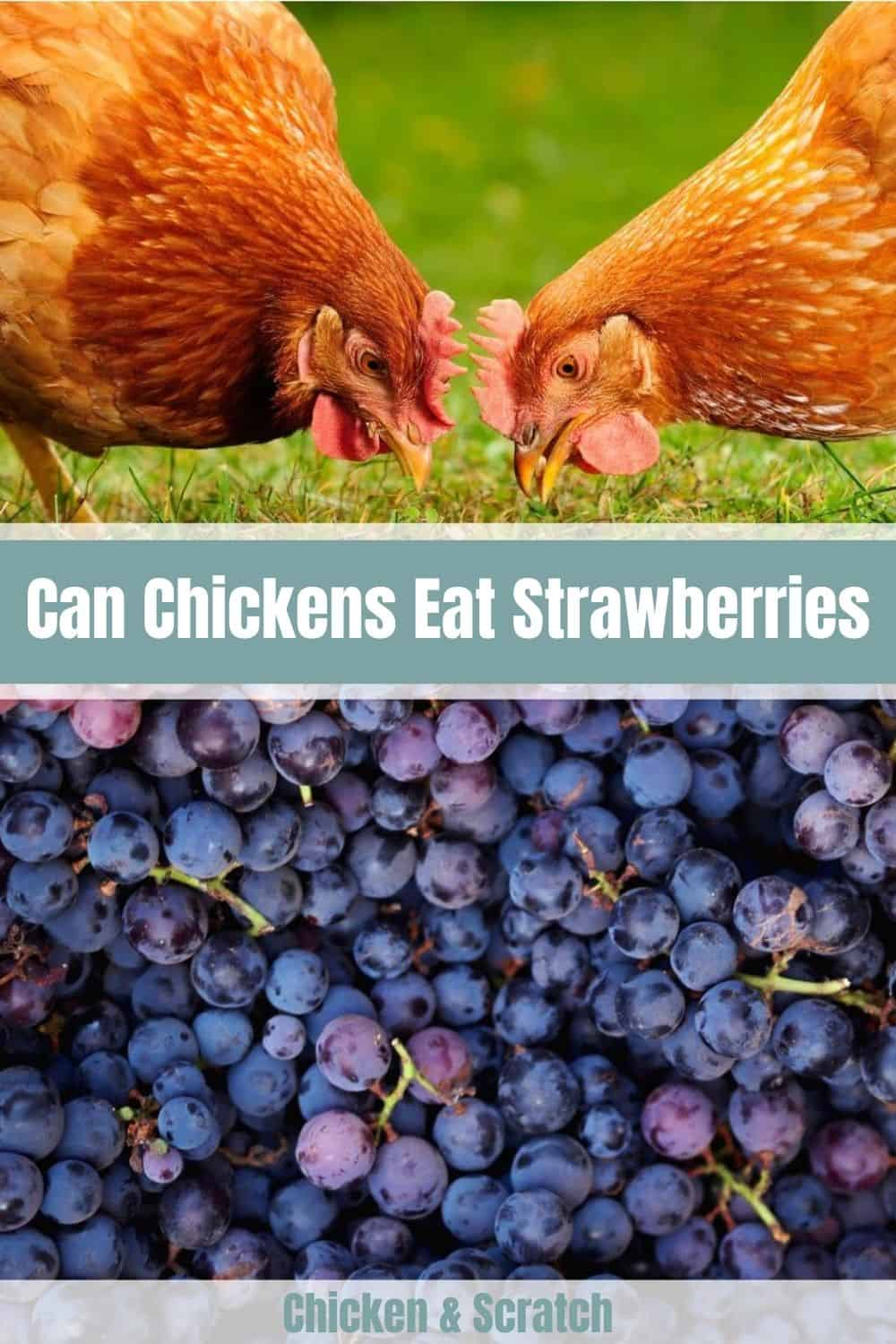 chickens eat grapes
