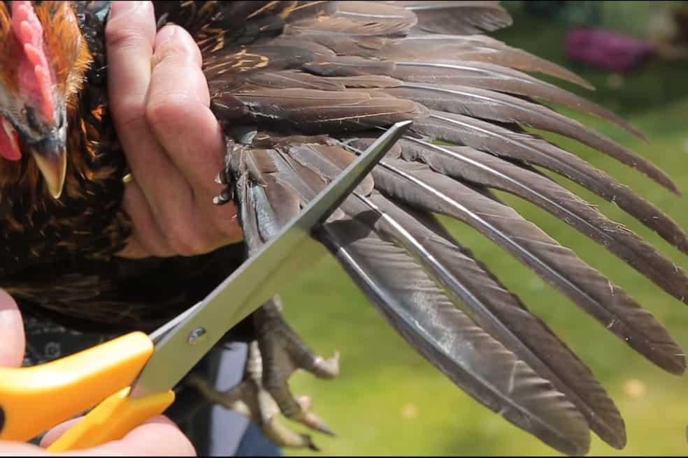 clip chicken wings