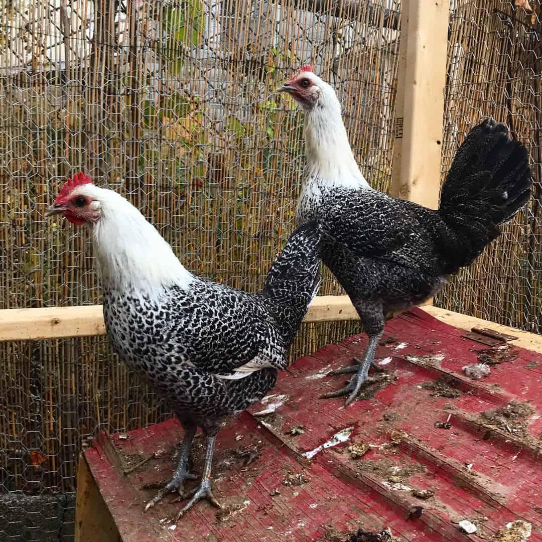 fayoumi chickens