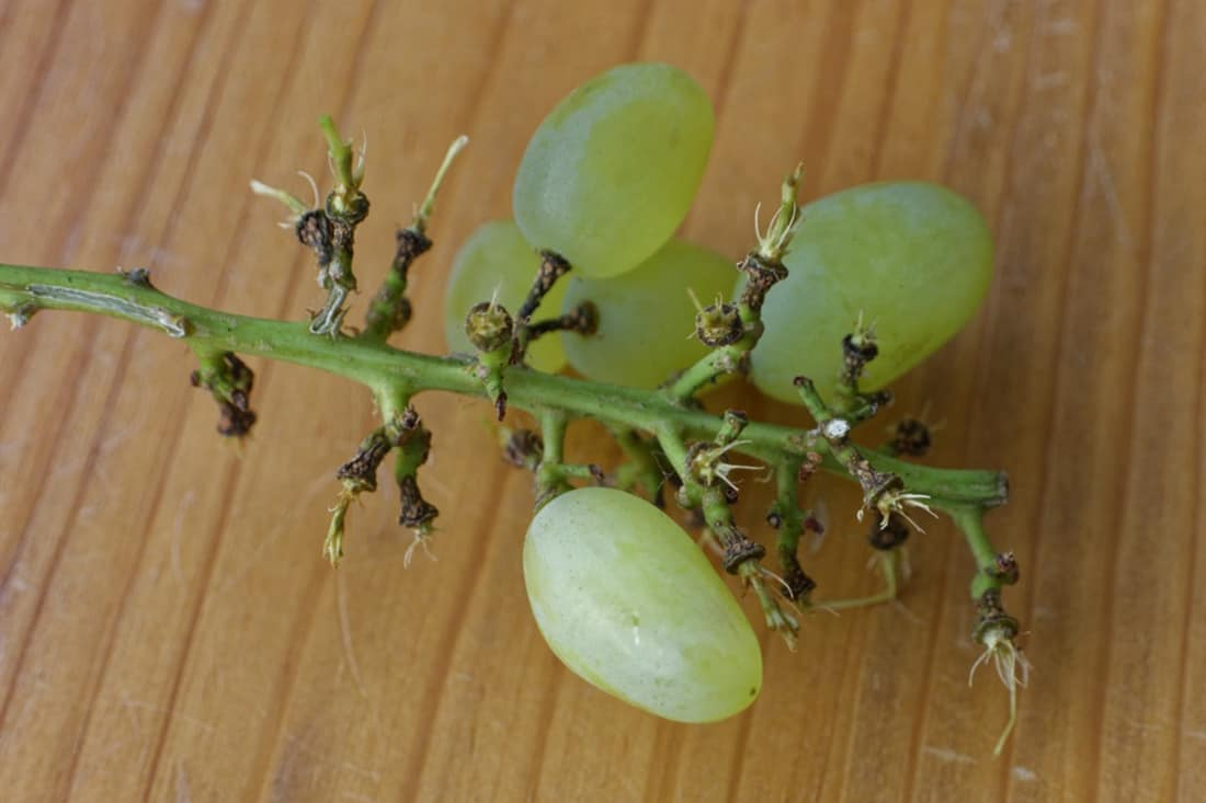 grapes for chickens