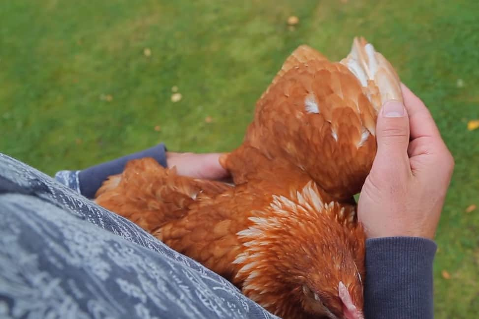 how to clip a chickens wings