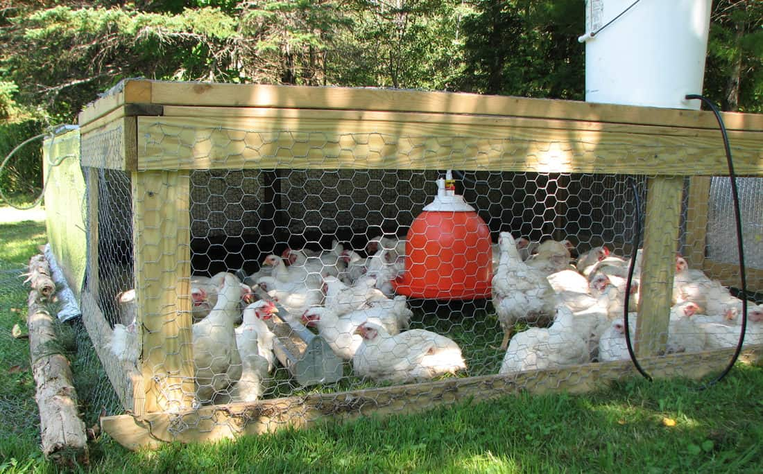 how to make money off chickens