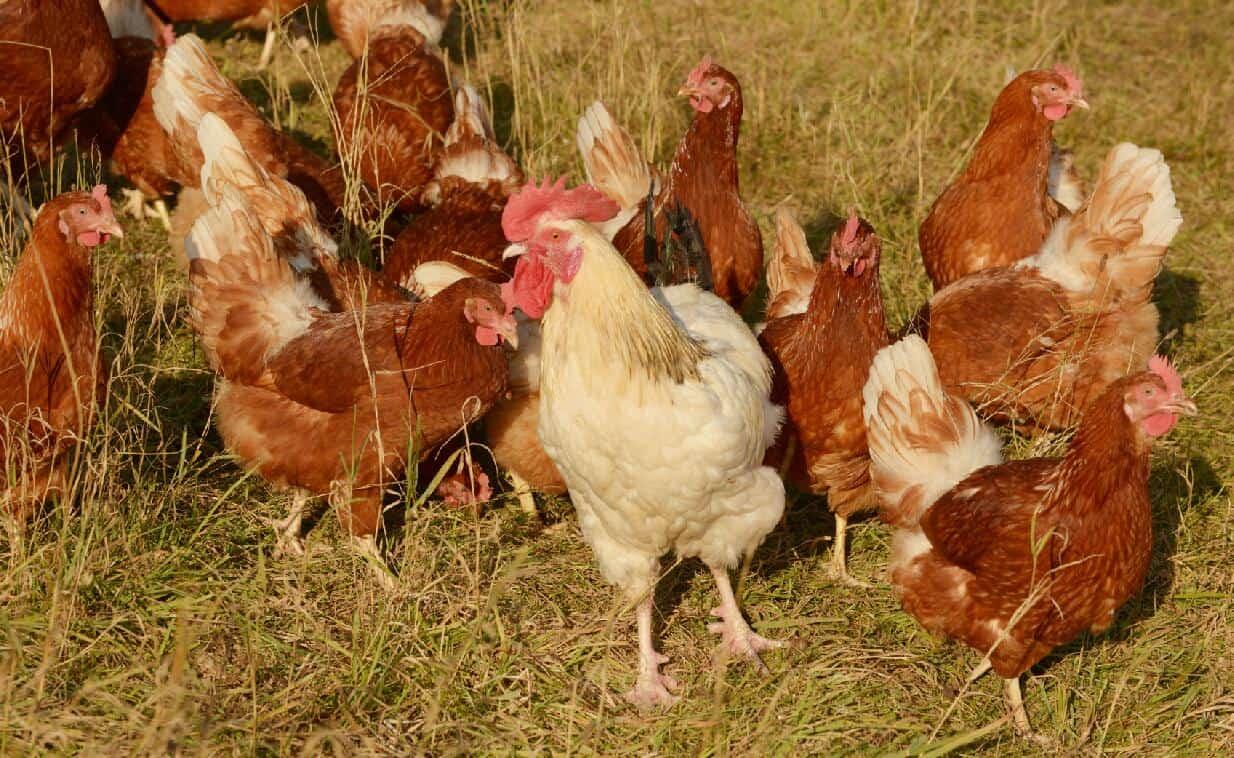 how to make money raising chickens