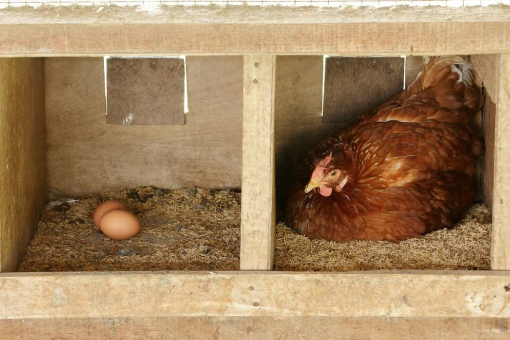 sell chicken eggs