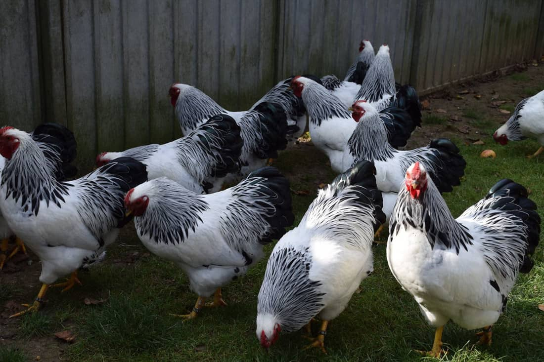 sounds chickens make
