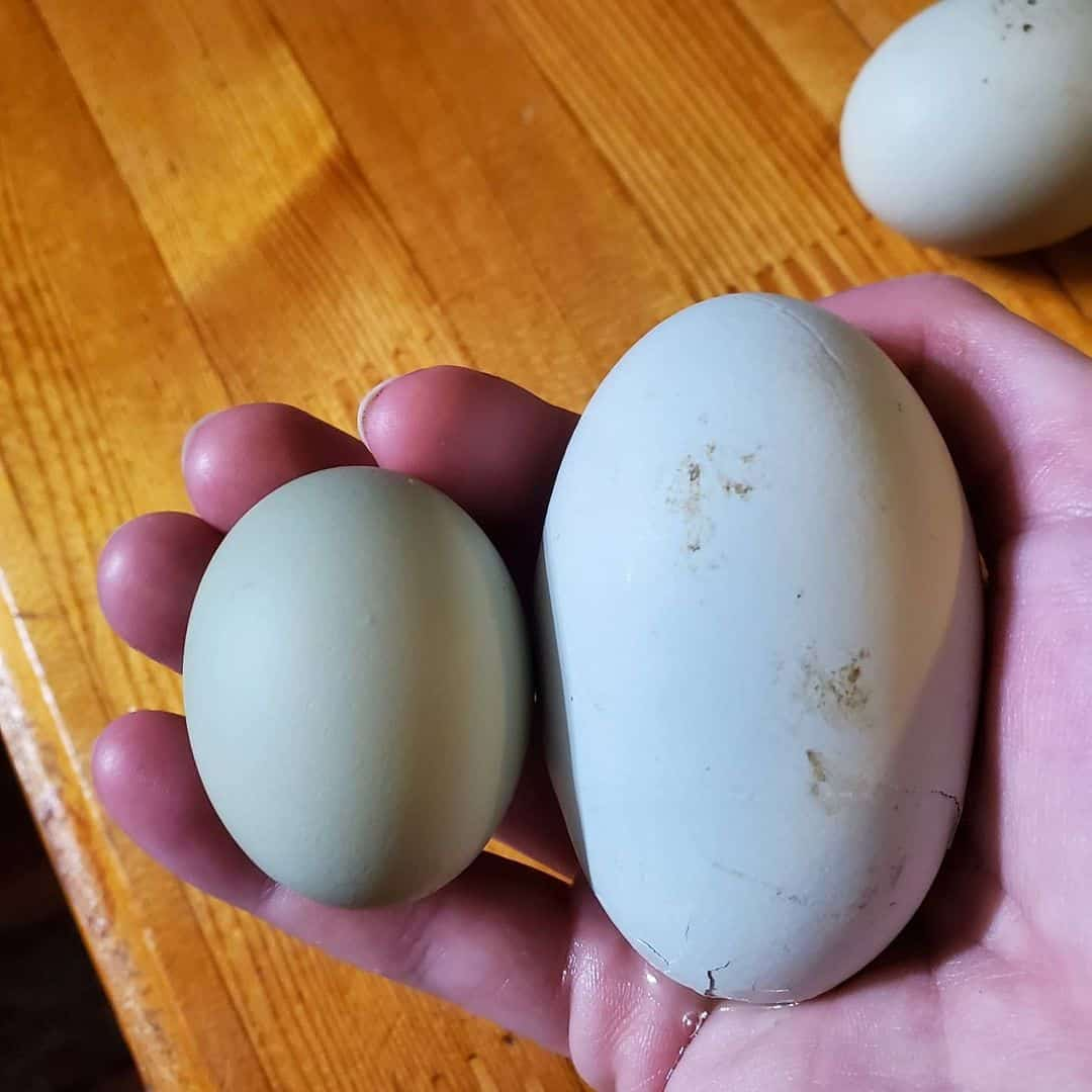 two yolked egg