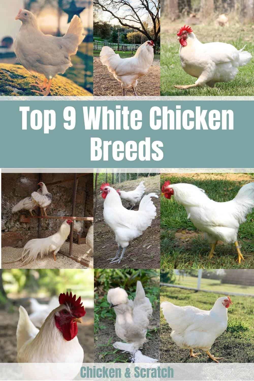 white chicken breeds