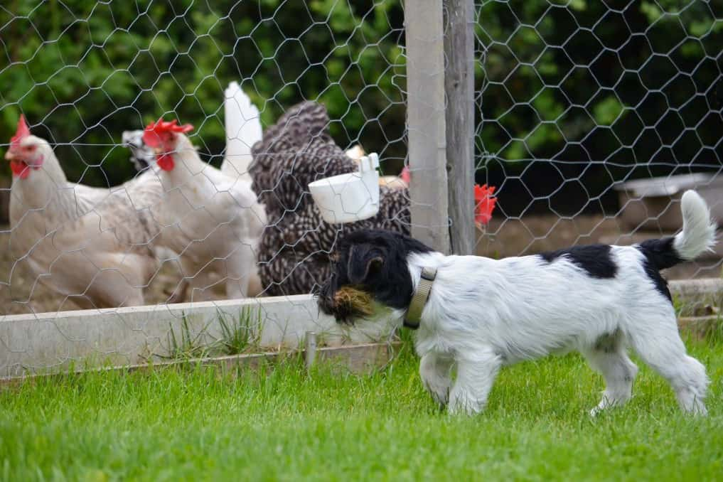 Adopting Pets To Ward Off Chickens