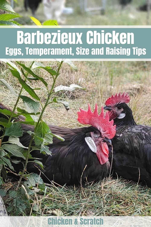 Barbezieux Chicken breed