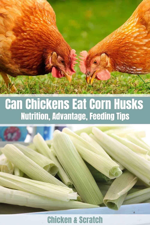 Chickens Eat Corn Husks