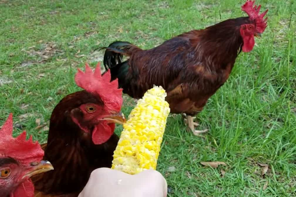 Corn and Chickens
