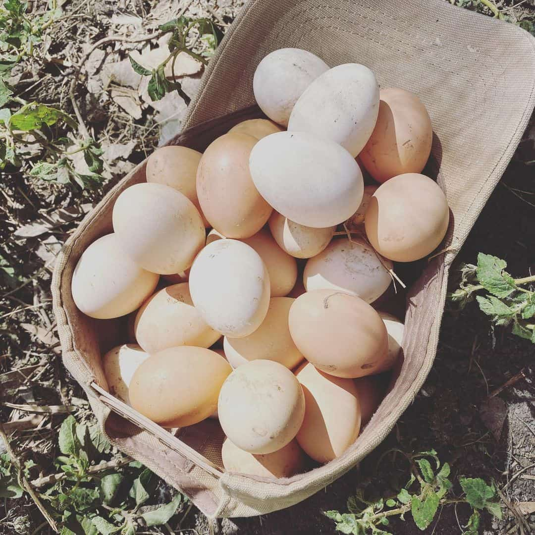 Egg Laying of Ixworth Chickens