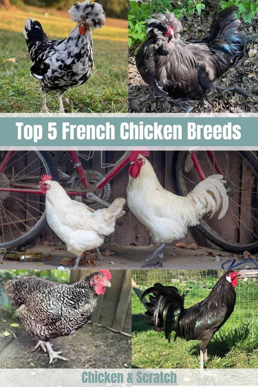 French Chicken Breed