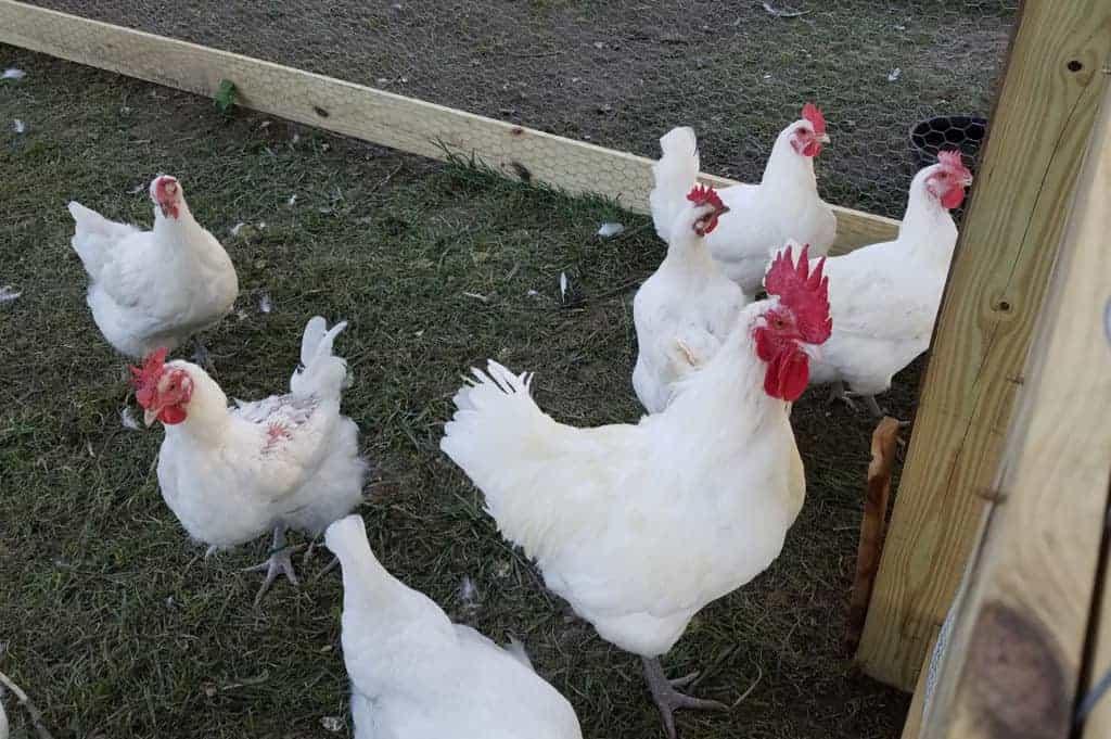 French Chicken Breeds