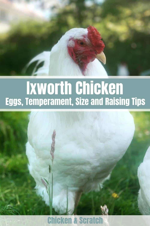 Ixworth Chicken breed