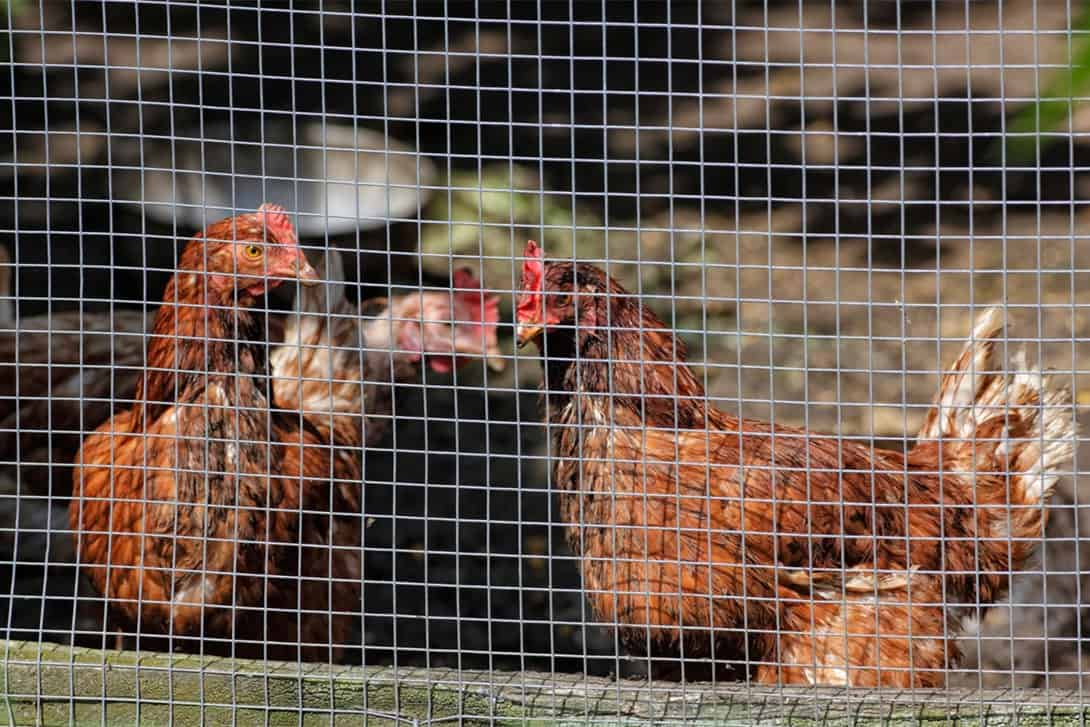Keep Chickens Out Of The Yard