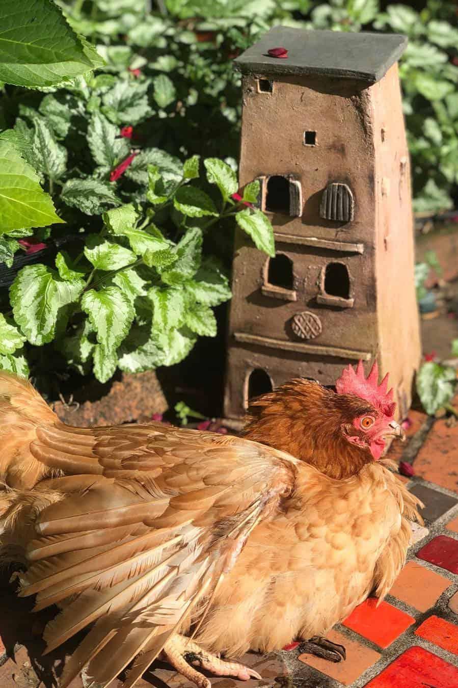 Red Shaver Chicken breed