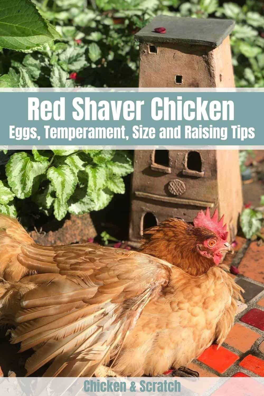 Red Shaver hen