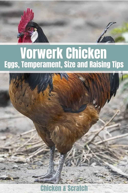 Vorwerk Chicken egg