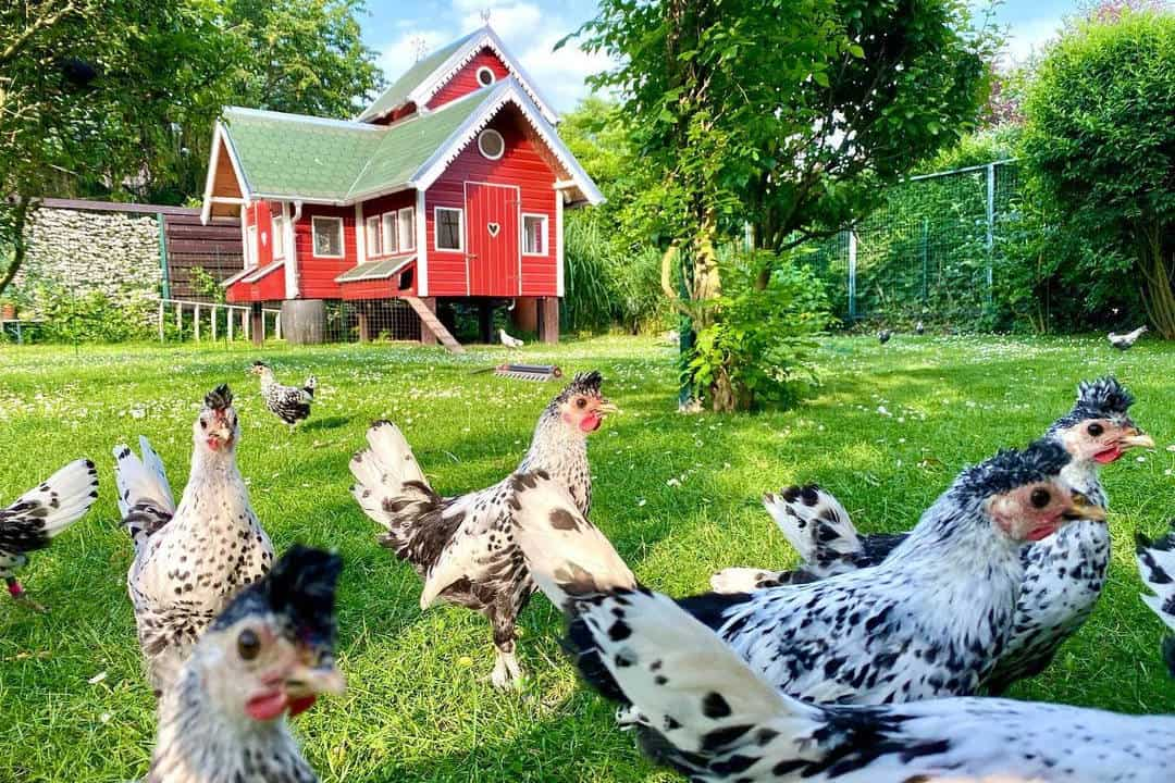 appenzeller (chicken)