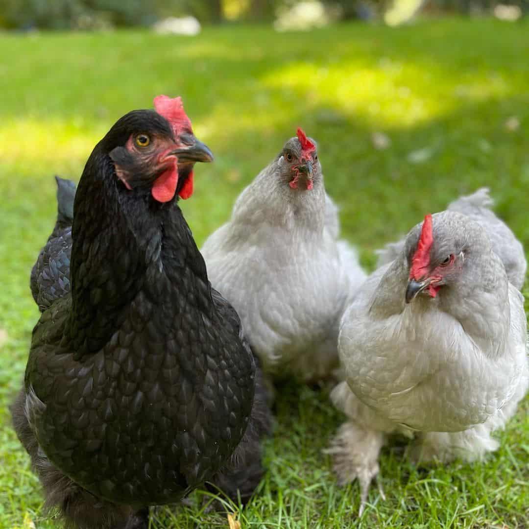 asian chicken breeds