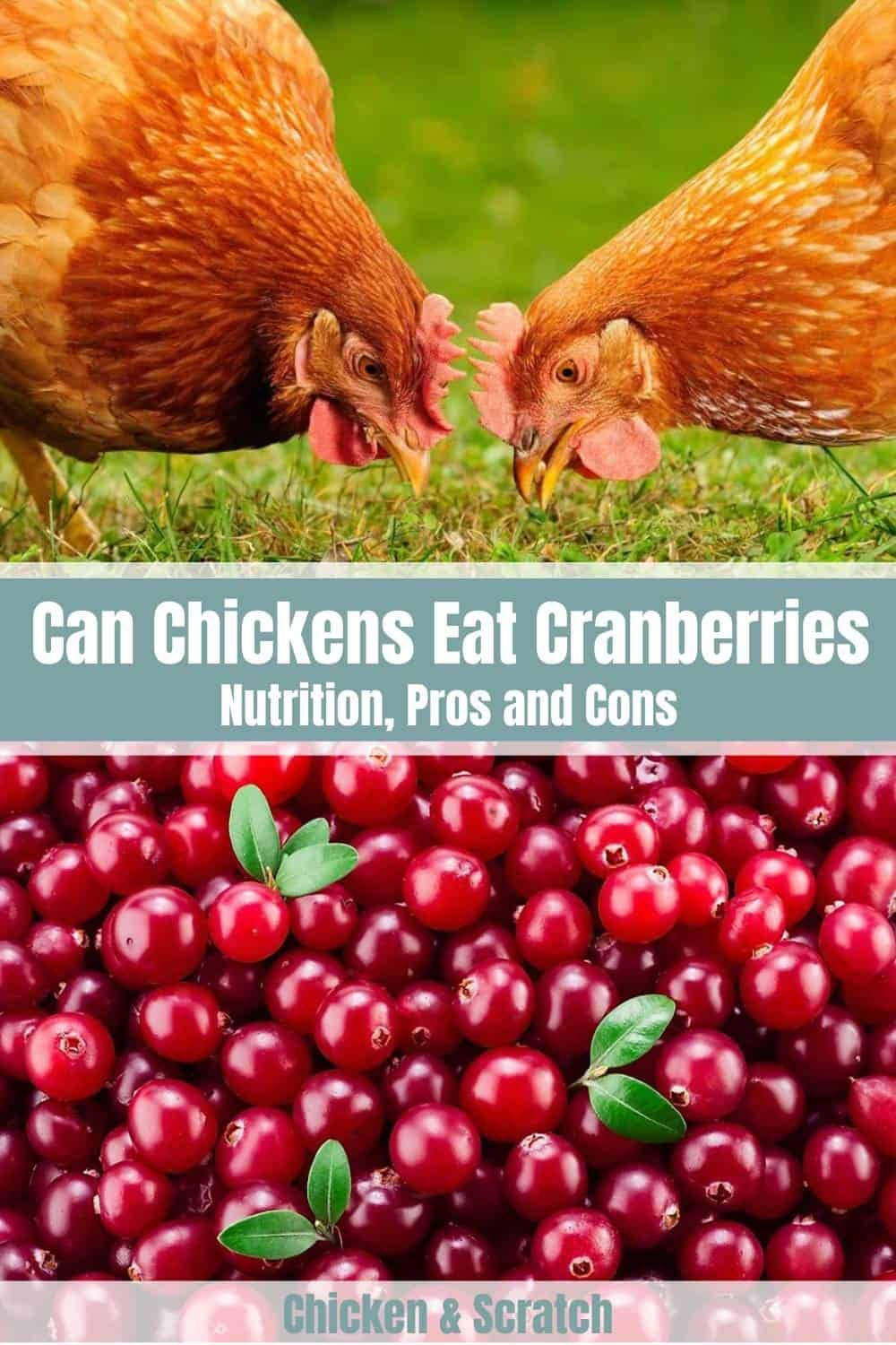 can chickens eat dried cranberries