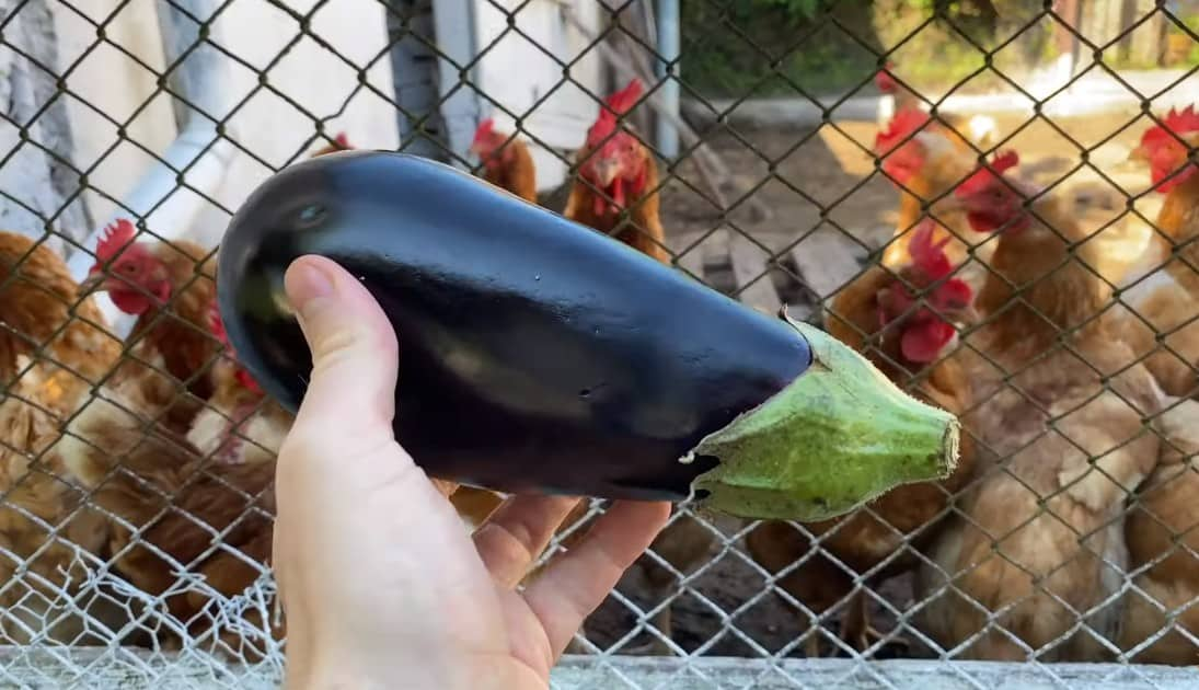 can chickens have eggplant