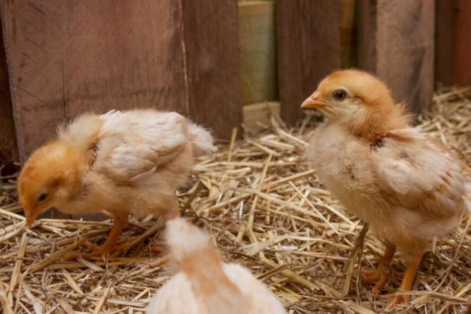 care for baby chicks