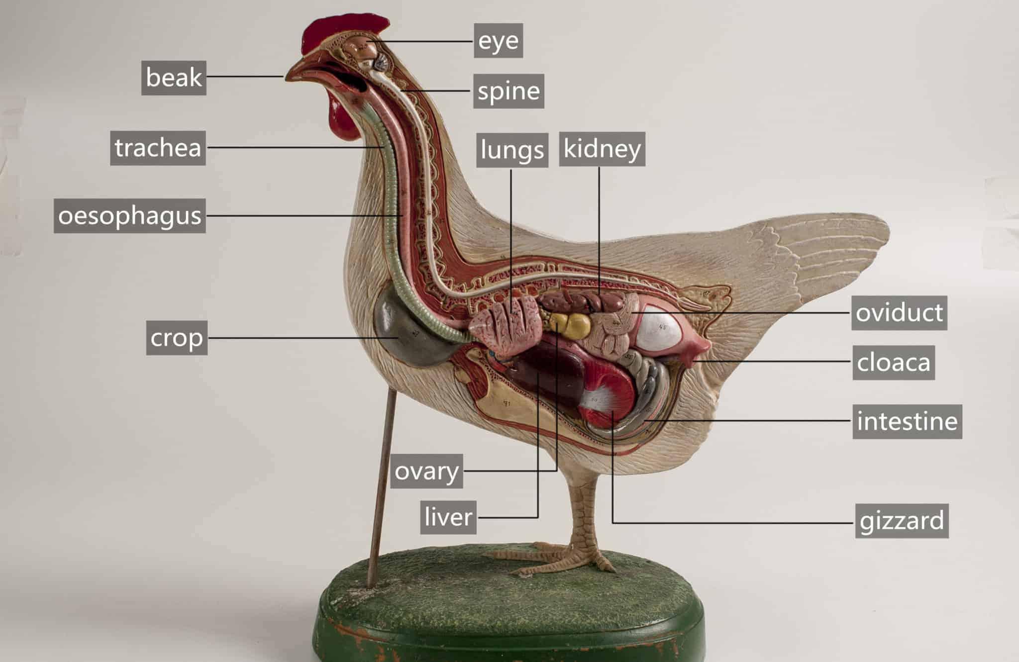 What is a chicken crop