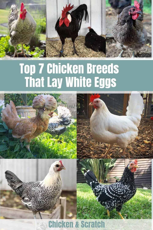 chicken breeds that lay white eggs