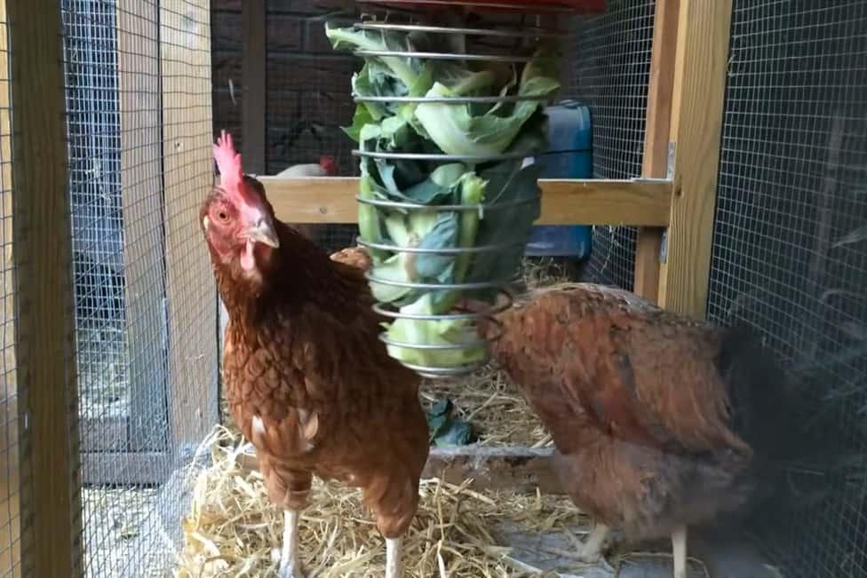 chicken eat cauliflower