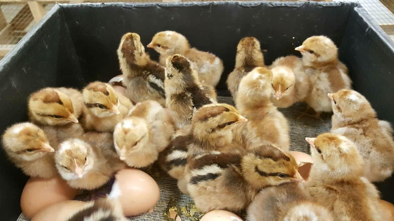 chicken hatcheries in georgia