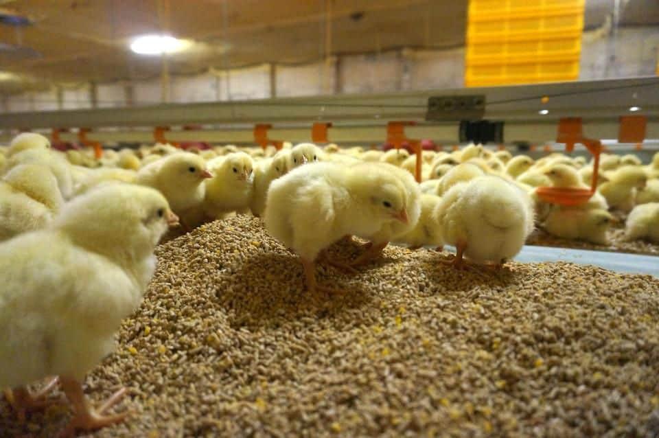 chicken hatcheries oregon