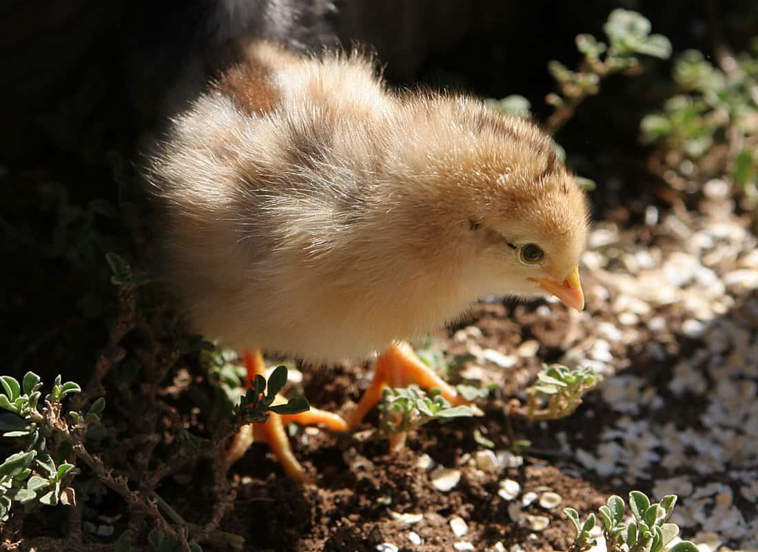 chicken hatchery michigan