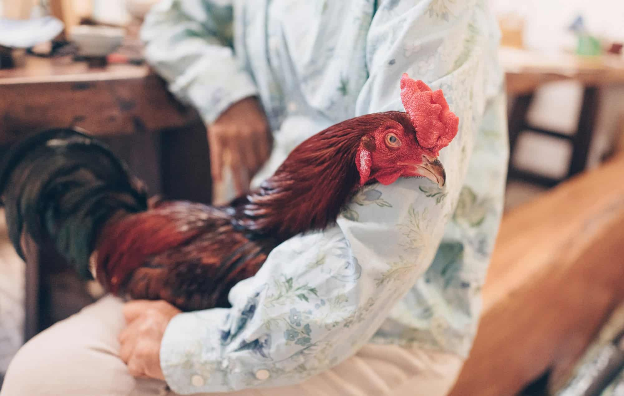 chickens avian flu
