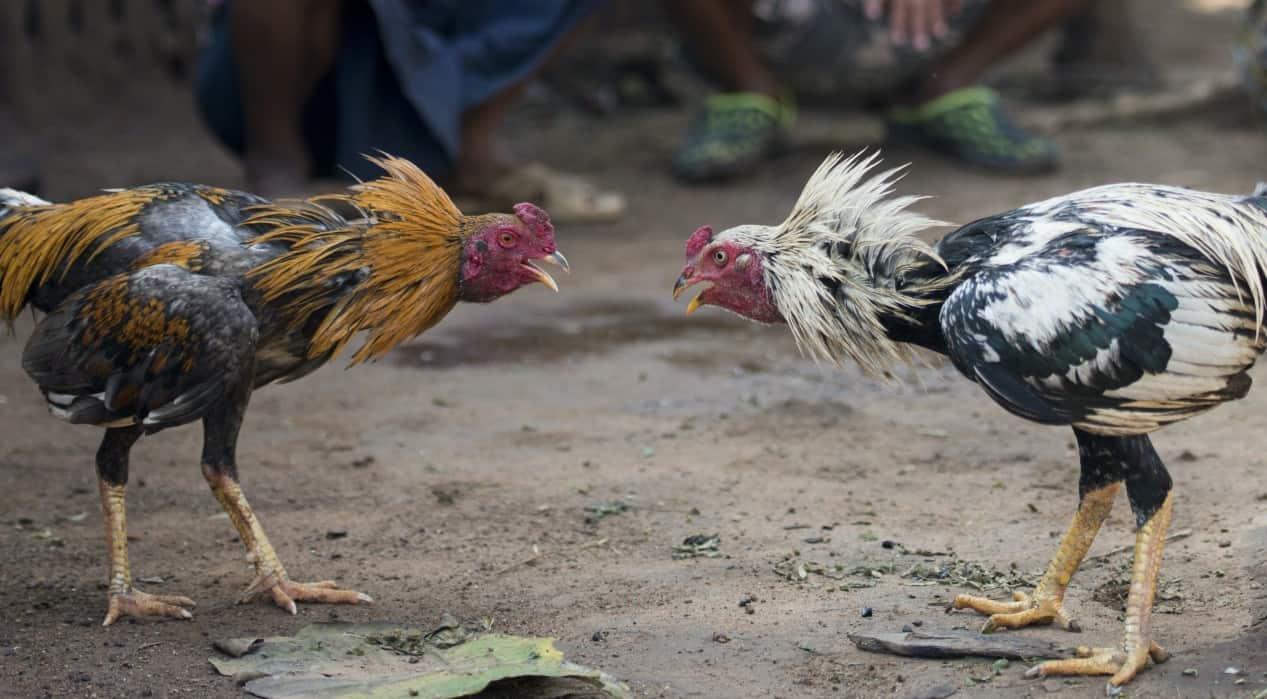 chickens background