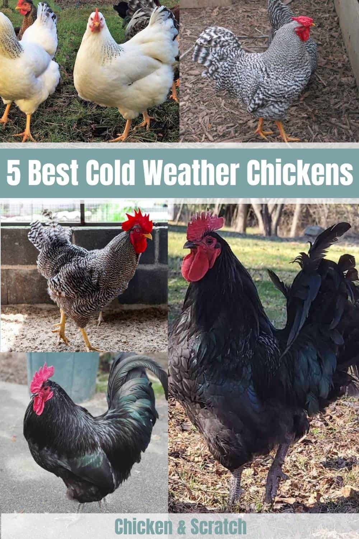 cold weather chicken breeds
