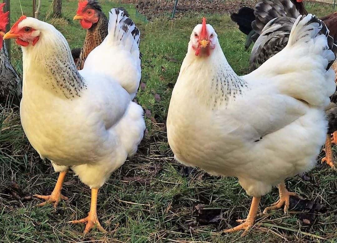cold weather chickens