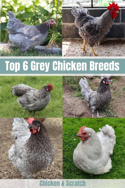 grey chickens breeds
