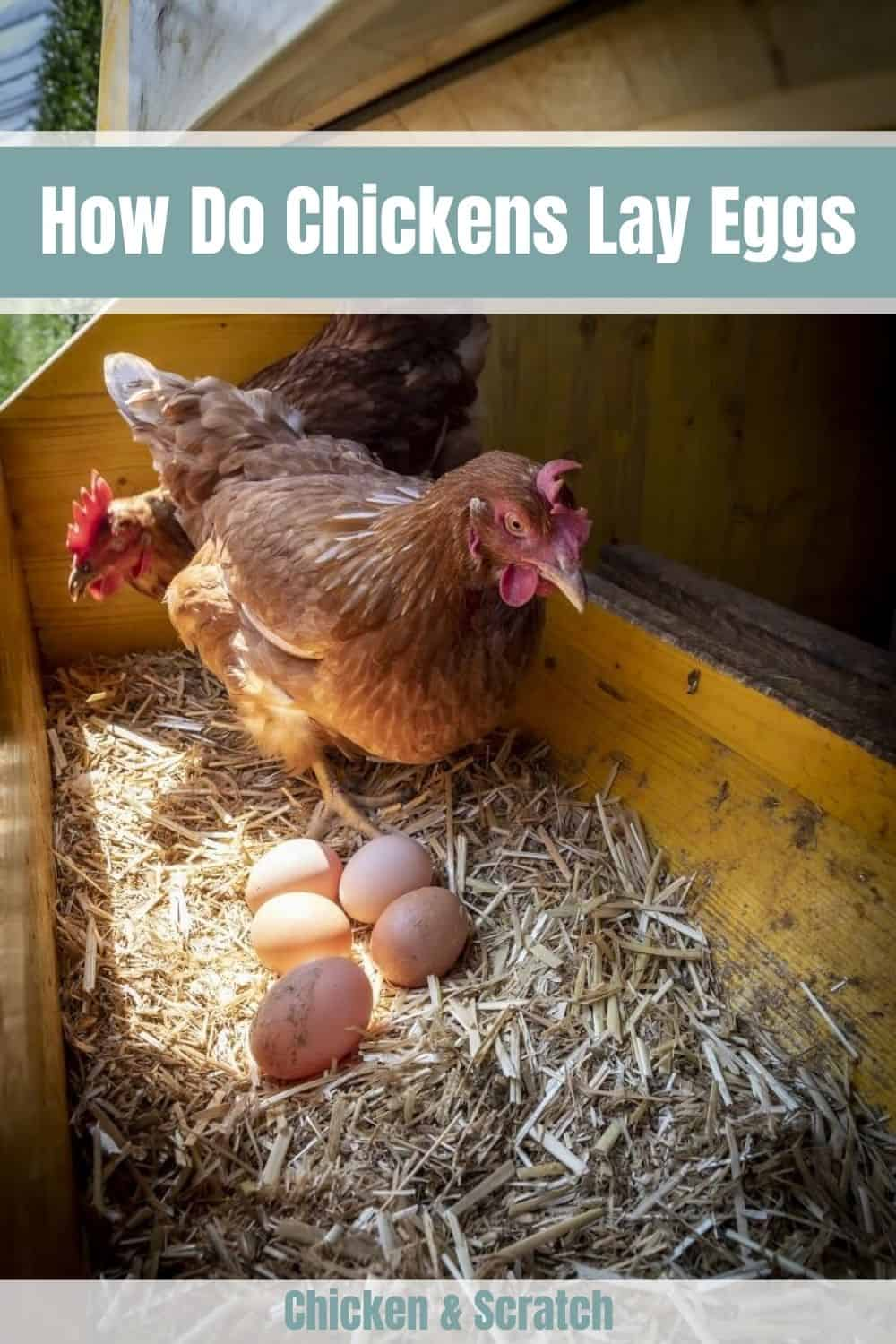 how does a chicken make an egg