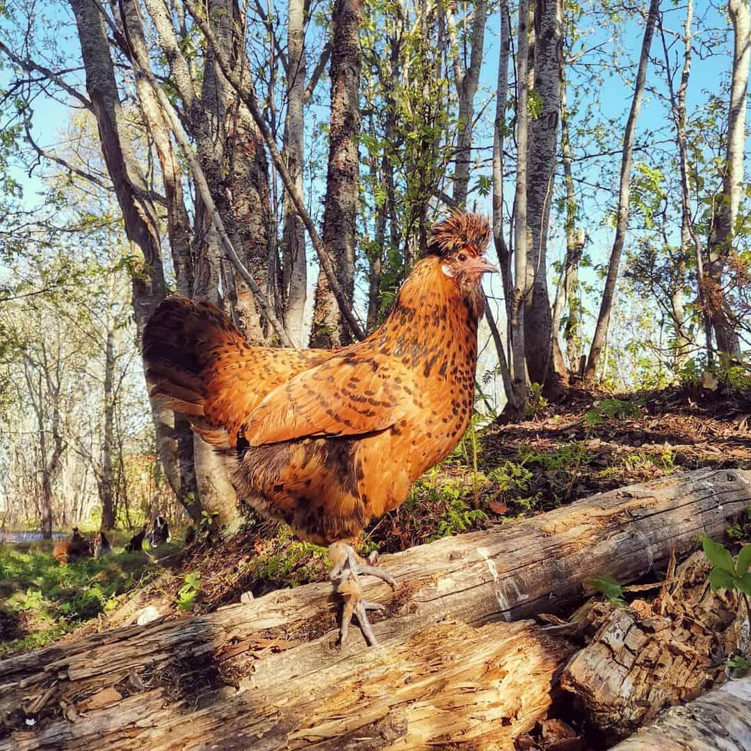 pavlovskaya chicken